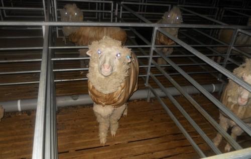 Ultra fine wool