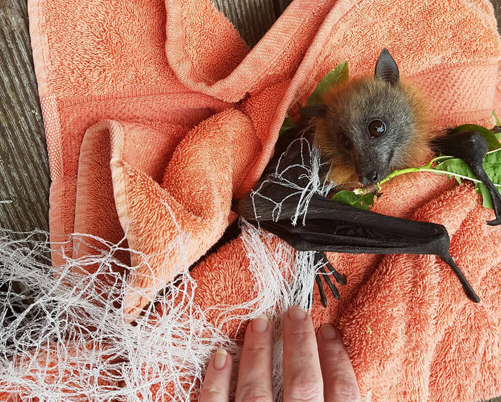 A 12 week old flying fox caught in a net.