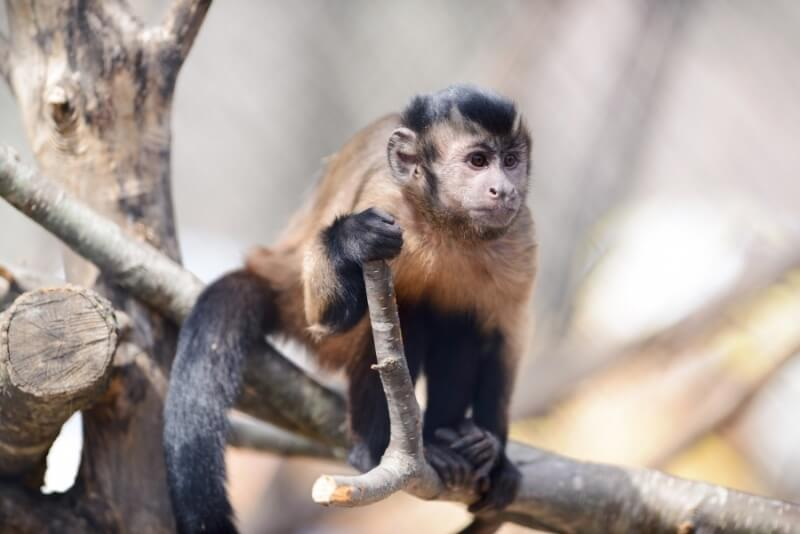 Capuchin Monkey on a Branch