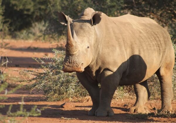 Australian Rhino Project: Captivity Is Not the Answer!