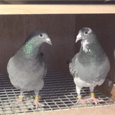 The Queen's birds in Telford loft.