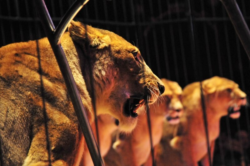 Lions in circus cage