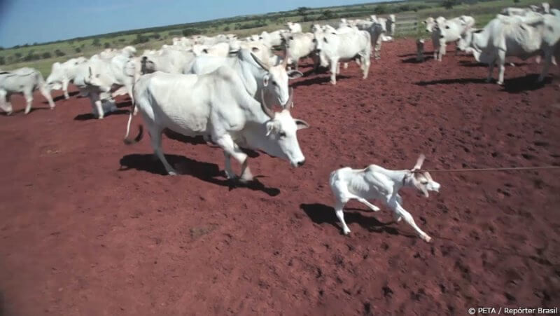 Calf being lassoed in Brazil