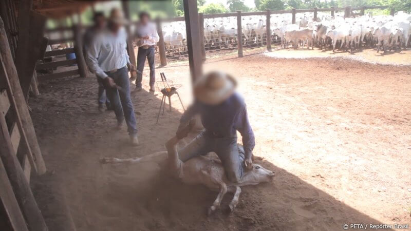 A Worker pins down a cow