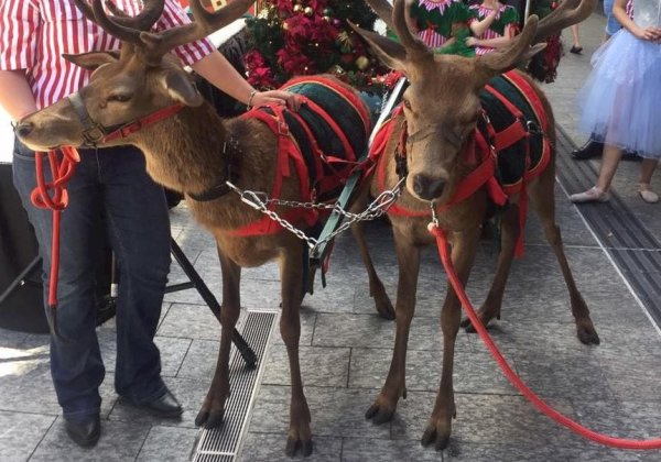 Reindeer Are Not Decorations! Christmas Parades Are No Party for Animals