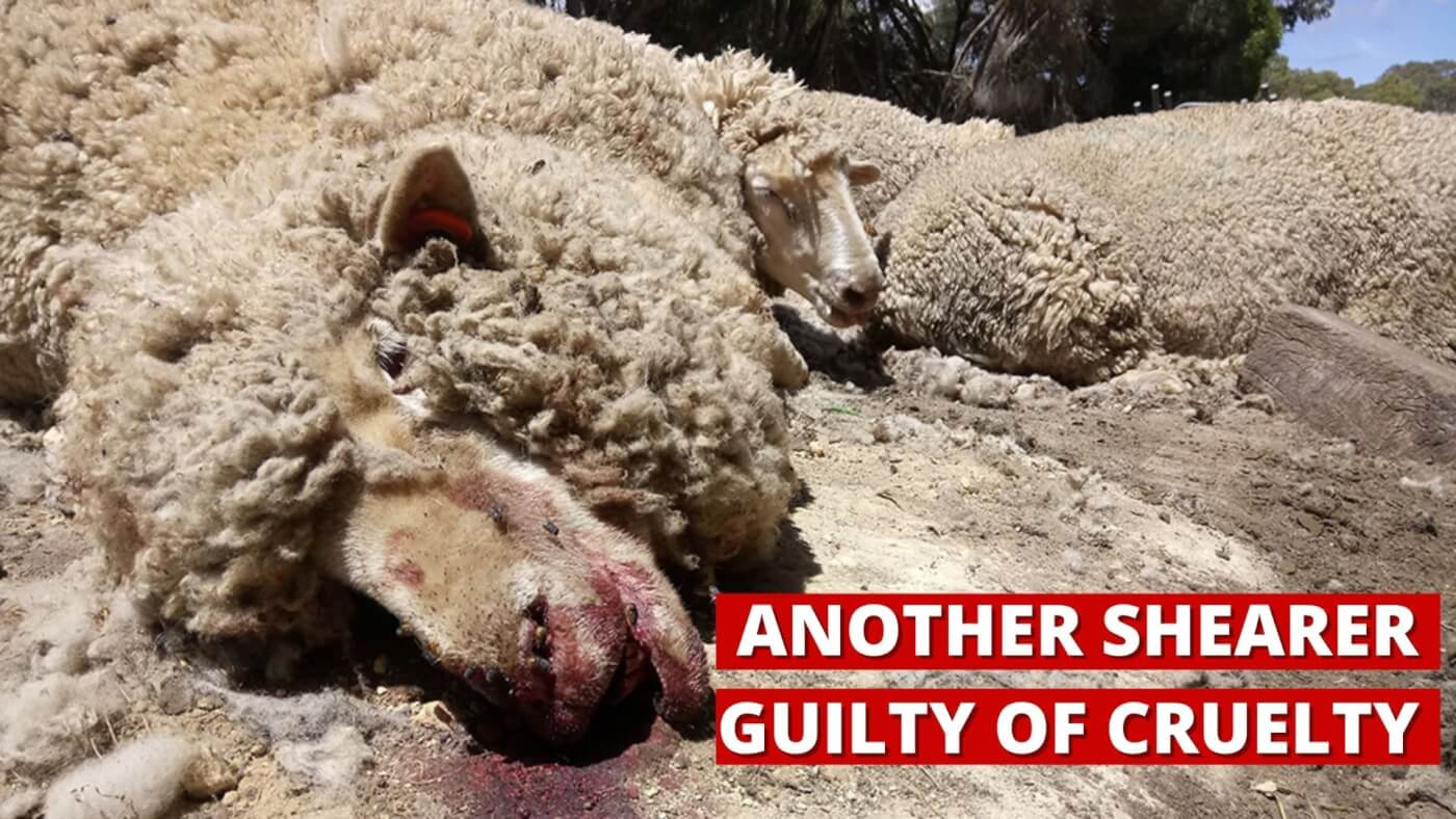 Another Shearer Guilty of Cruelty.