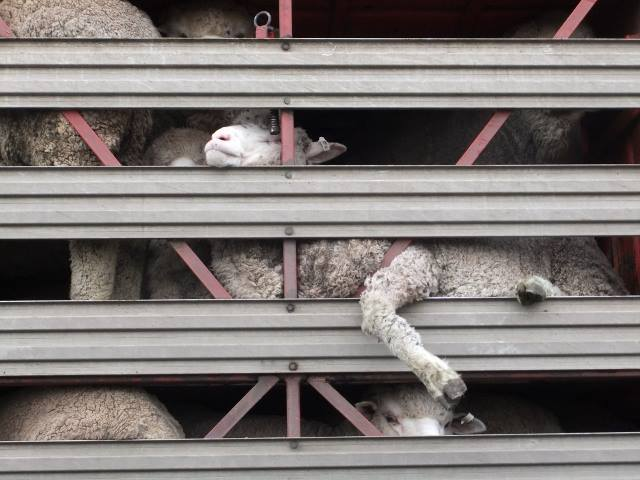 Sheep on Truck