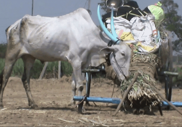 How Animals Were Helped at India's Chinchali Fair
