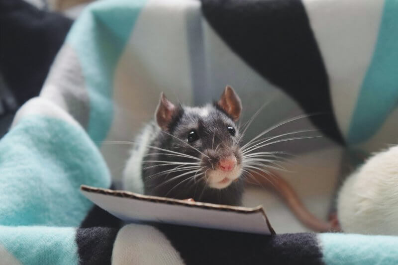 Apollo the adopted rat