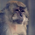 This image shows a macaque monkey