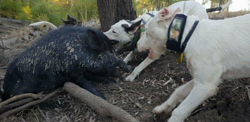 Pig Dogging
