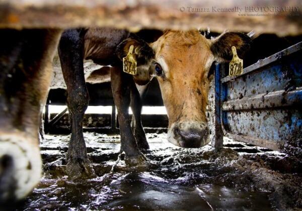 Australia's Dairy 'Crisis': Who's Really Being #MilkedDry?