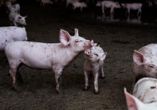 A photo of pigs on an Australian farm.