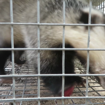 Badger with chewed off foot