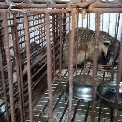 a badger in a cage