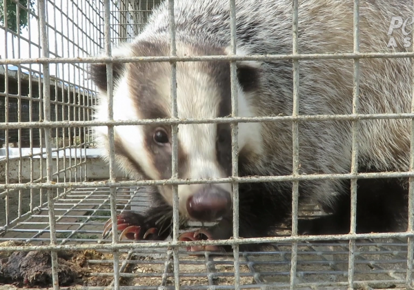 Badgers in cages