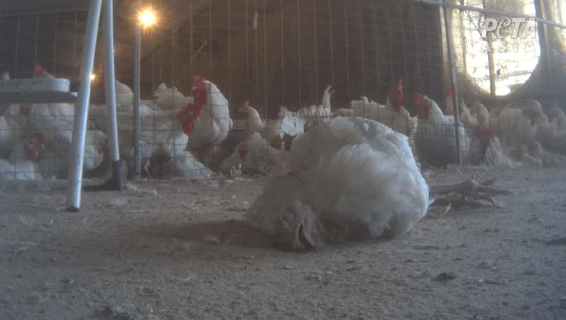 Baiada chicken breeding facility