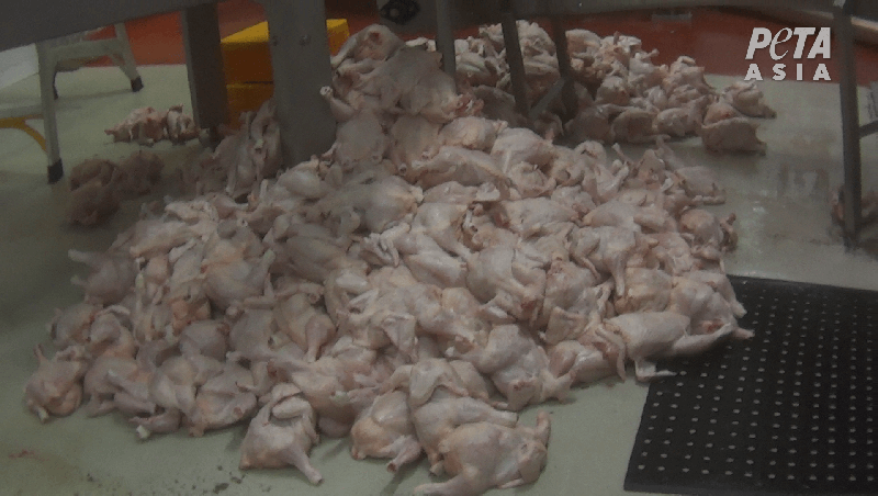 Dead chickens on the ground