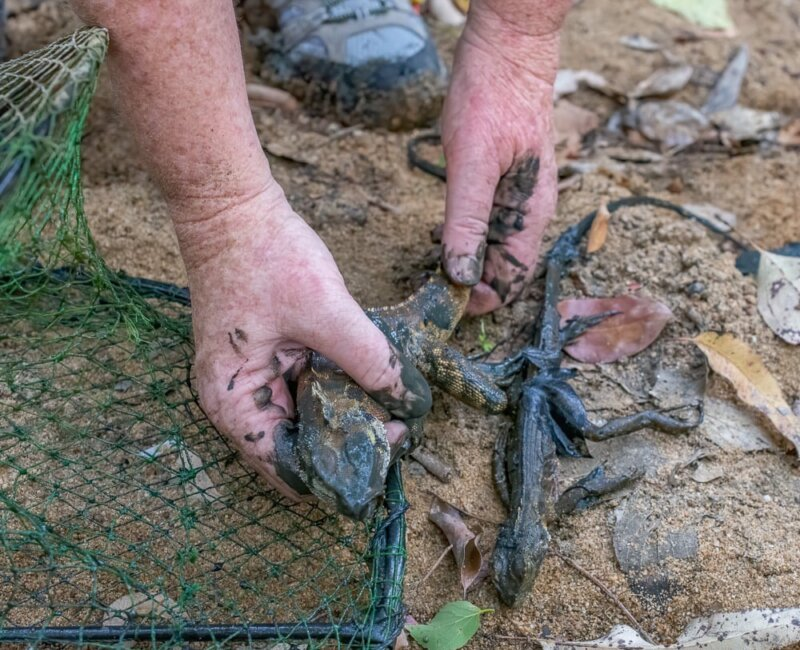 Two eastern water dragons found in an enclosed yabby trap at Woogaroo Creek at Ipswich