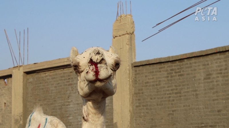 At the notoriously cruel Birqash Camel Market, men and children were observed viciously beating screaming camels with sticks.
