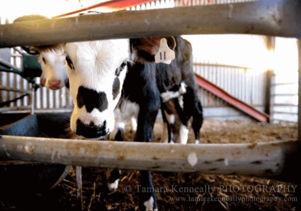 New Zealand's New Rules: Calves Must Be 4 Days Old Before They're Killed