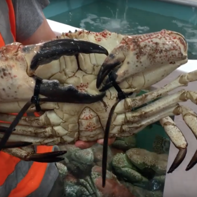 A photo of a crab bound with zip ties at the Sydney Fish Market.