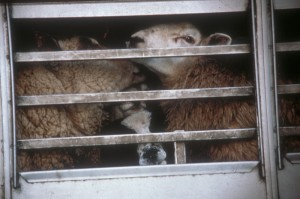 Sheep live export Australia