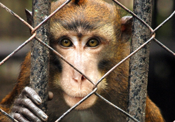 monkey hanging onto cage looking at camera