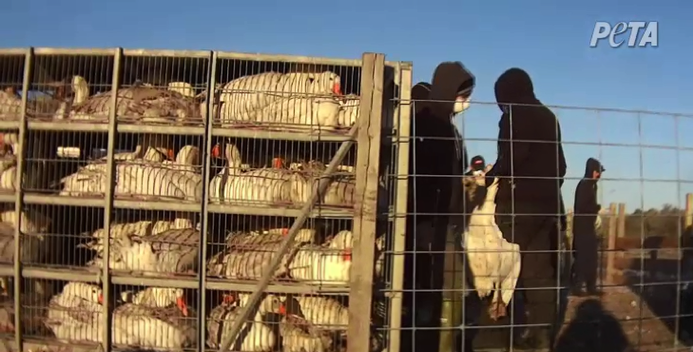 Workers grabbed geese by the neck – often two in each hand – and hauling them to transport crates.