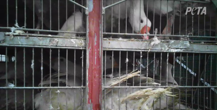 Birds crammed into cages so small that they are unable to hold their heads up even while sitting.