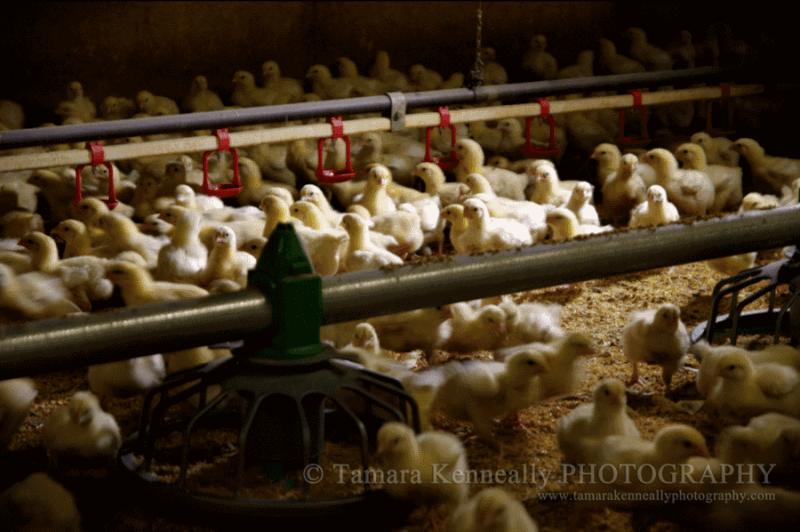 chicken-farming-australia