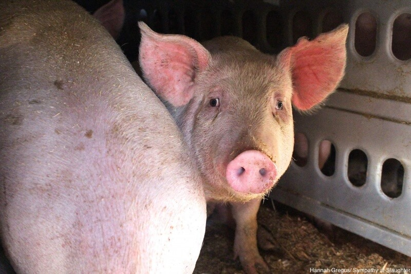 Compressed -food_trucks_sympathy_at_slaughter_pigs_004
