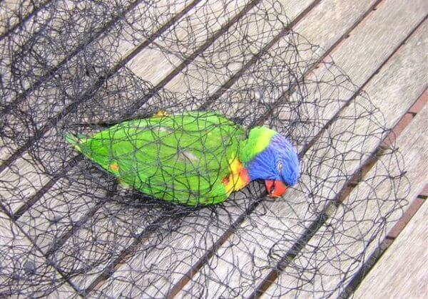 A rainbow lorikeet found dead in a black tree net.