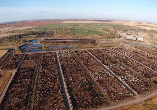 Cows in QLD, Australia