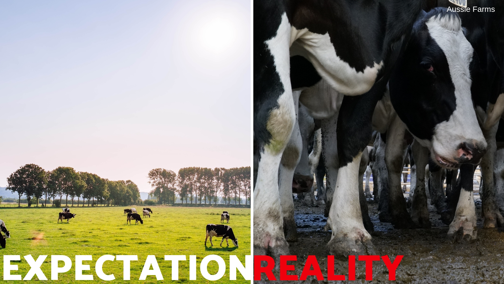 The reality of cows used for food.