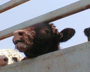 cow on truck, live export