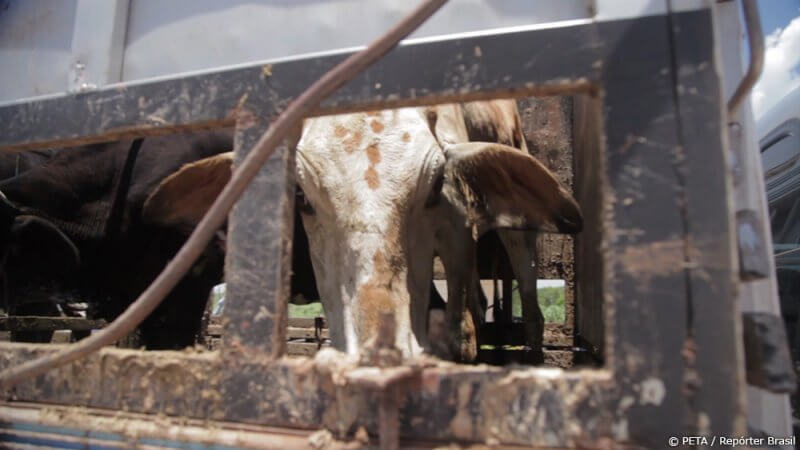 Cows headed to JBS SA slaughterhouses endure long rides in filthy trucks.