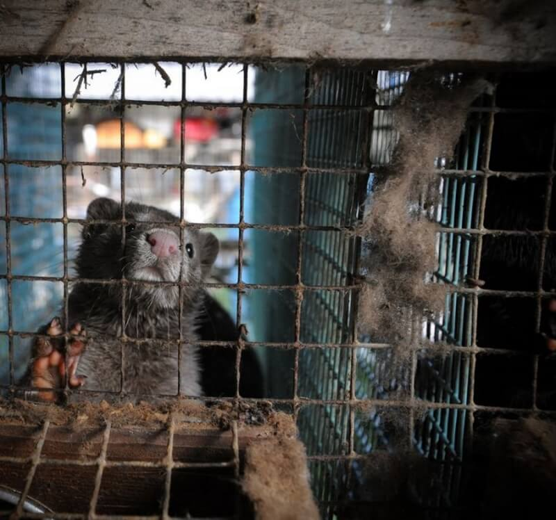 Mink in a cage on a fur farm