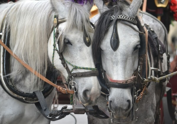 Demand an End to Horse-Drawn Carriages