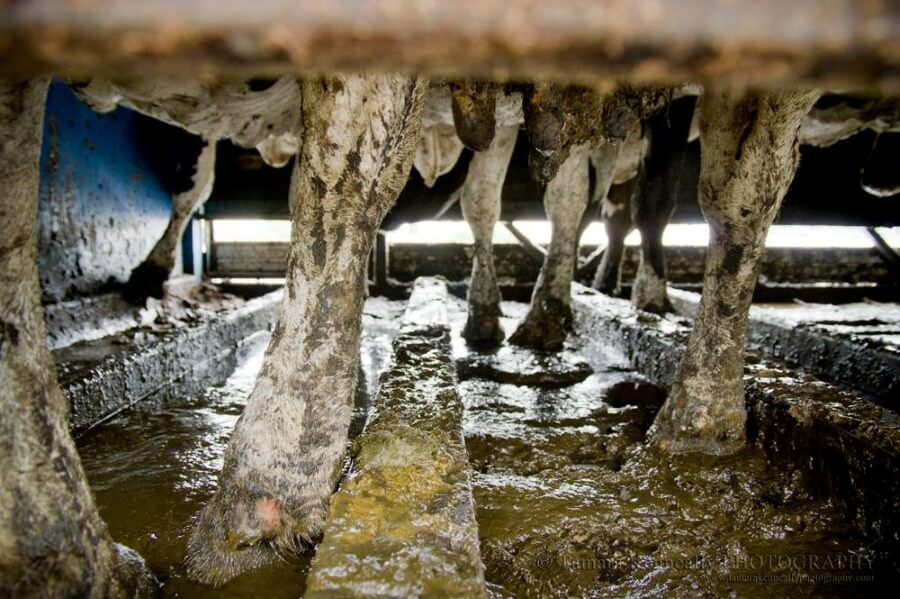 A photo of dairy cows being transported to slaughter in a filthy truck.