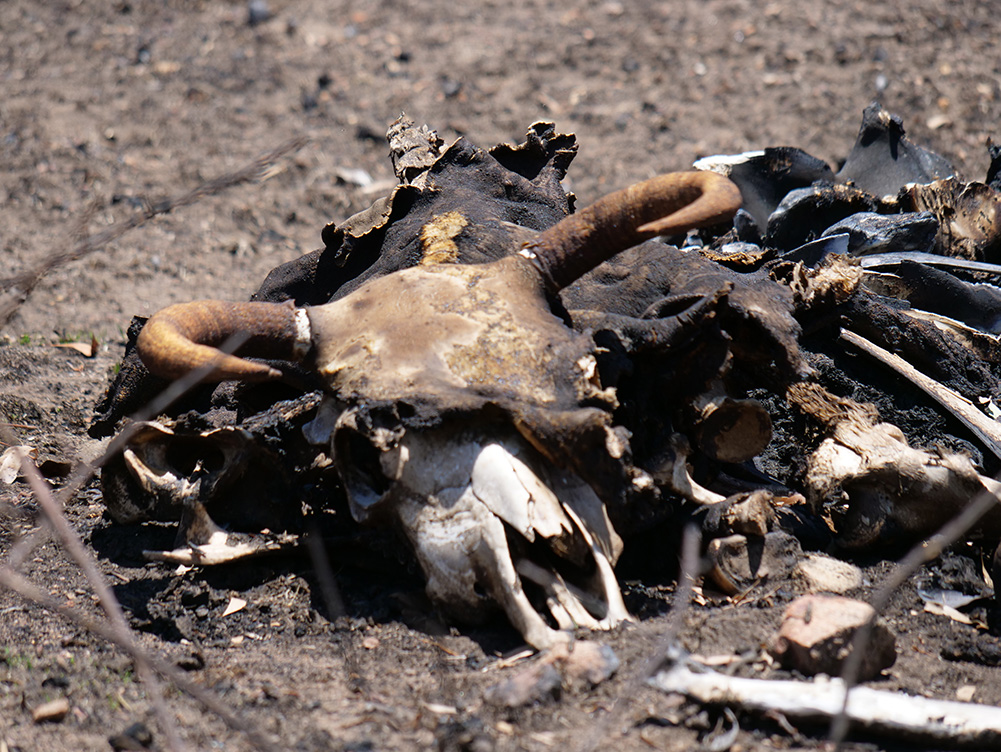 A photo of a decomposing bull, killed by bushfires.