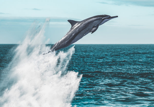 Dolphin in the wild