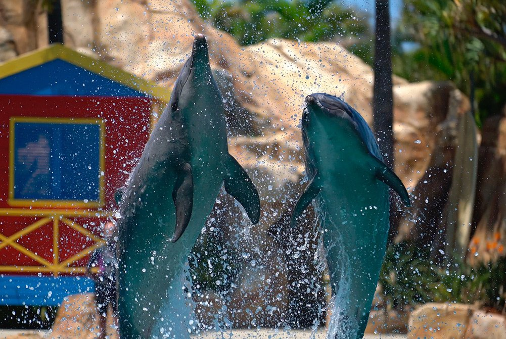 A photo of dolphins performing at Sea World on the Gold Coast