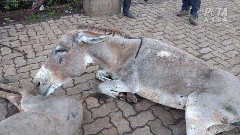 Image shows an injured donkey dumped outside slaughterhouse