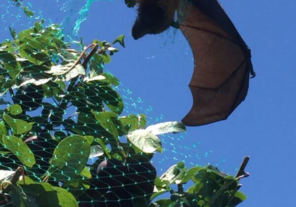 A flying fox caught in green netting, which is hard to see.