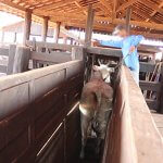 Electric shock prods are used in the chutes.