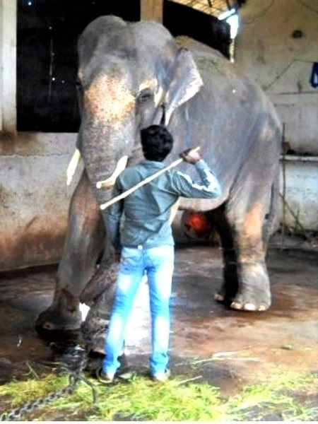 """For years, Sunder was held captive in a temple in India, where he was used to attract visitors and donations and was beaten to make him """"listen"""" and """"behave""""."""