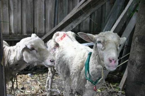 sheep may die of exposure