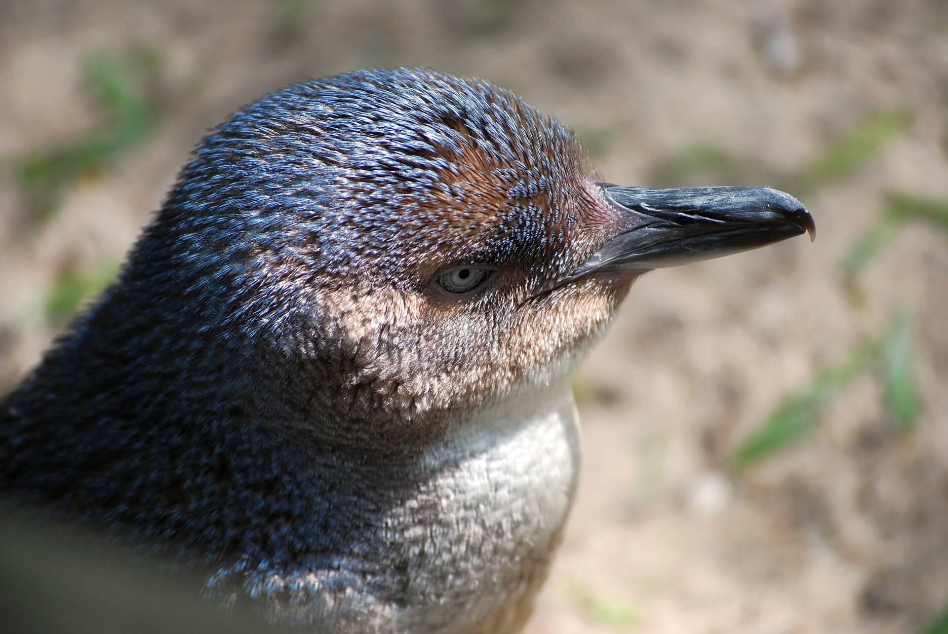 NZ Town Wins PETA Proggy Award For Penguin Passage