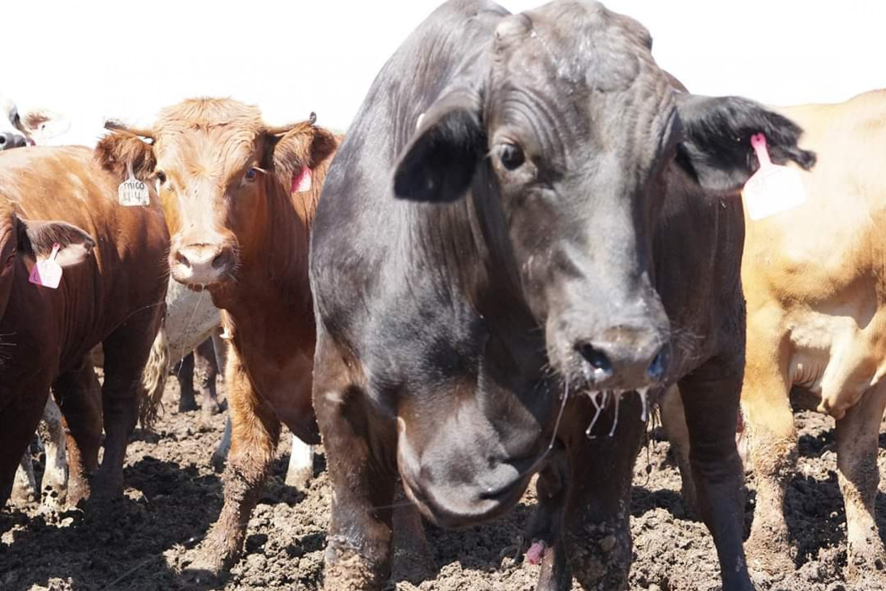 Cattle at a feedlot.